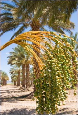 Moroccan Date Tree