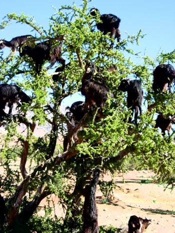 Argan Oil Amp Goats In Trees Your Morocco Travel Guide