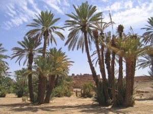 Desert oasis with palm trees, Zagora, Draa valley